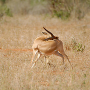 Impala scratching it's own back.