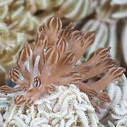 Phyllodesmium jakobsenae nudibranch feeding on Xenia soft coral in Lembeh Strait, North Sulawesi, Indonesia
