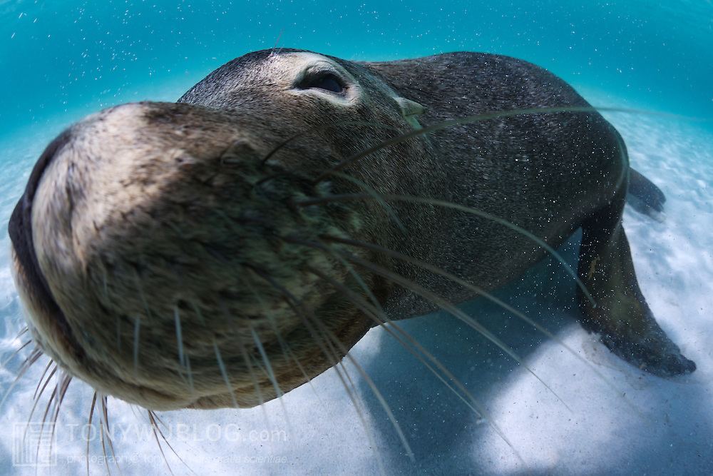 Young Australian sea lion coming in for a kiss