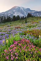 Mount Rainier Paradise wildflower meadows containing  a mixture of Pink Mountain Heather, Western Anemone, Broadleaf Lupines, and American Bistort. Mount  Rainier National Park, Washington