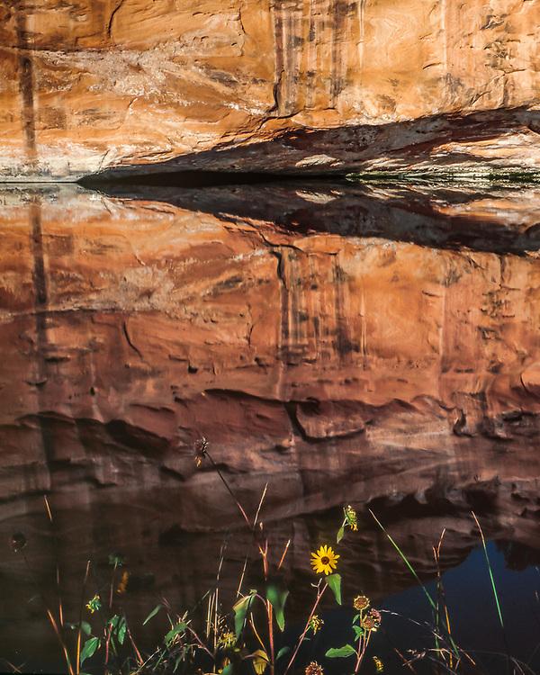 Sunflower and reflection of sandstone wall, spring, Colorado Plateau, Arizona, USA