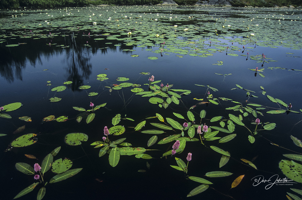 Water smartwed and water lilies blooming in large beaver pond, Greater Sudbury, Ontario, Canada