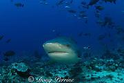 bull shark or Zambezi shark, Carcharhinus leucas, at Shark Reef Marine Reserve, Beqa Passage, Viti Levu, Fiji ( South Pacific Ocean )