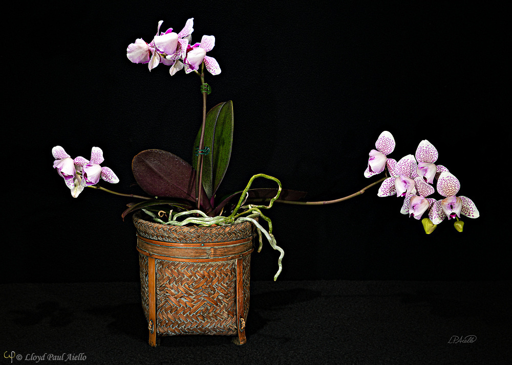 Phaleanopsis orchid bloomed by the photographer.  Phalaenopsis are also known as Moth Orchids and are native throughout southeast Asia from the Himalayan mountains to the islands of Polillo, Palawan and Zamboanga del Norte in the island of Mindanao in the Philippines and northern Australia.