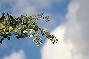 Quaking Aspen (Populus tremuloides) leaves glimmer against white clouds in Caribou-Targhee National Forest, Idaho.