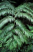 Fern Leaves in rainforest, Thailand, jungle