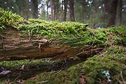 Fungi Phlebia serialis growing on the underside of fallen tree, near Buiva, Vidzeme, Latvia Ⓒ Davis Ulands | davisulands.com