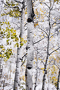 SHOT 10/1/17 4:04:34 PM - The trunk of an aspen tree along Buffalo Pass just outside of Steamboat Springs, Co. surrounded by other aspens during an early season unexpected snow storm. Populus tremuloides is a deciduous tree native to cooler areas of North America, one of several species referred to by the common name aspen. It is commonly called quaking aspen,trembling aspen or American aspen. The trees have tall trunks, up to 25 meters (82 feet) tall, with smooth pale bark, scarred with black. The glossy green leaves, dull beneath, become golden to yellow, rarely red, in autumn. The species often propagates through its roots to form large groves originating from a shared system of rhizomes. (Photo by Marc Piscotty / © 2017)