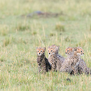 """Five fluffy cheetah cubs getting drenched in the rain, awaiting the return of their mother who is out hunting.<br /> <br /> *For all details about sizes, paper and pricing starting at $85, click """"Add to Cart"""" below."""