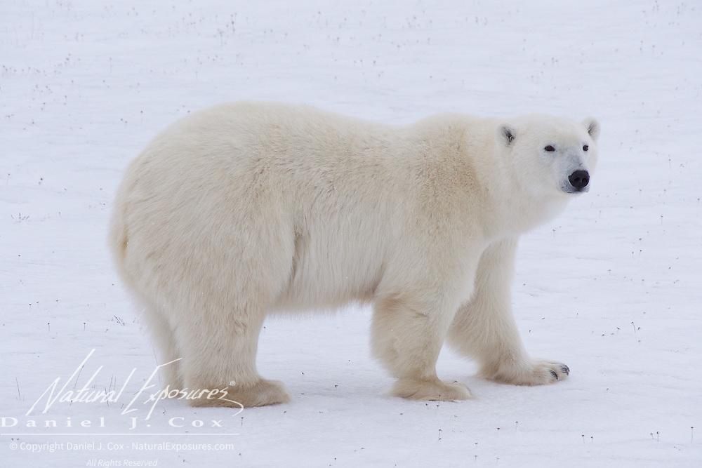 Polar bear, Gordon Point, Hudson Bay, Churchill, Manitoba.