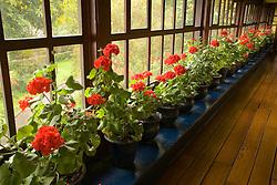 South America, Ecuador, Zuleta, geraniums line window of long hallway in hacienda