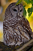 Barred owl Strix varia, bird of prey, hunts rodents, found mixed woodland river bottoms