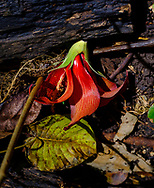 A fallen red flower, seen on a walk through the lush jungle and limestone cliffs of Welchman Hall Gully, Barbados