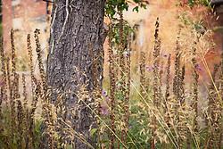 Foxglove seedheads amongst Stipa gigantea