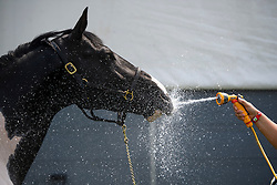 © London News Pictures. 12/05/2016. Windsor, UK. COMMANDER the horse being watered down in hot weather on the first day of the 2016 Royal Windsor Horse Show, held in the grounds of Windsor Castle in Berkshire, England. The opening day of the event was cancelled due to heavy rain and waterlogged grounds. This years event is part of HRH Queen Elizabeth II's 90th birthday celebrations.  Photo credit: Ben Cawthra/LNP