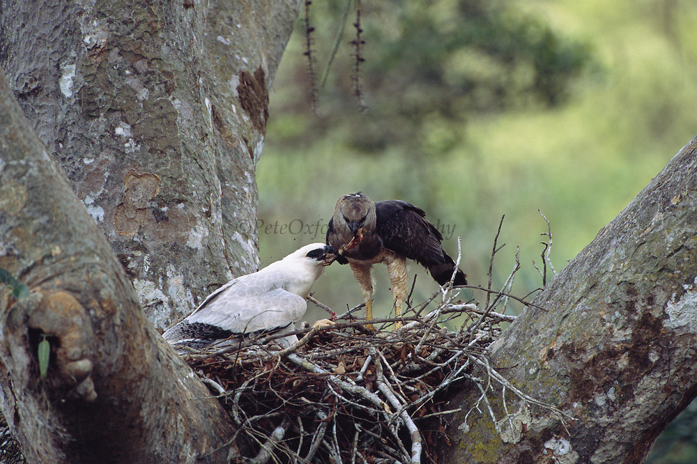 Crested Eagles on Nest (Female feeding Young)<br />Morphnus guianensis<br />Puerto Maldonado, Amazon Rain Forest.  PERU<br />South America<br />Range: Guatemala to Argentina and Brazil