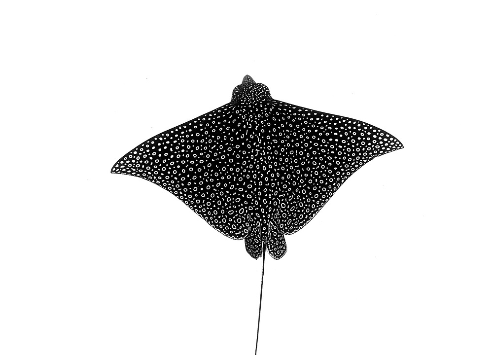 Artistic image of a spotted eagle ray (Aetobatus narinari) and the amazing patterns on the dorsal side. Image made in The Bahamas