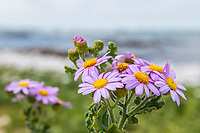Senecio elegans flowers growing along the coastline, Arniston, Western Cape, South Africa