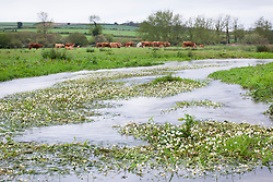 River water-crowfoot. Ranunculus fluitans