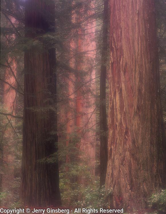 Giant Coast redwoods in Del Norte section, Redwood National Park, CA.