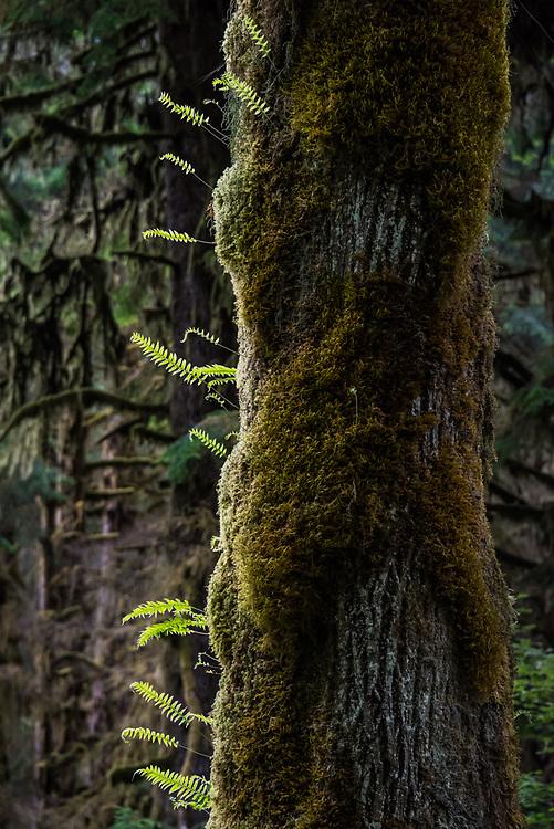 Backlit ferns, Hoh Rainforest, Olympic National Park