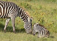 Grant's Zebra, Equus quagga boehmi, mother and colt in Lake Nakuru National Park, Kenya