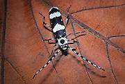 Banded alder beetle (rosalia funebris). Western Oregon.