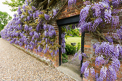 Thought to be the longest single vine in the UK, Wisteria blooms at Wickham Park Farm, Essex. No longer open to the public, the spectacular gardens are the work of dedicated gardener Judith Wilson, who has tended her wisteria and encouraged its growth for over thirty years.May 13 2018.
