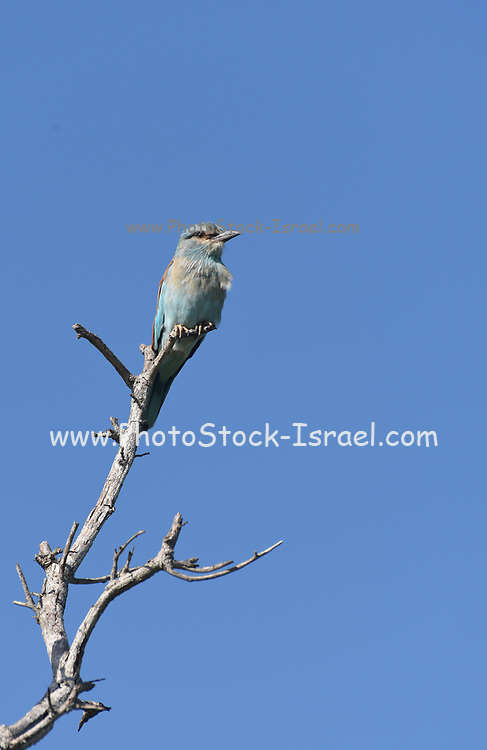 European roller (Coracias garrulus) on a branch. This migrant bird is the only roller bird family member to breed in Europe. It is also found in the Middle East, Central Asia and Morocco, and winters in southern Africa. It often perches conspicuously in the tops of trees, where it can spot prey such as insects and lizards, although it is known to take small birds, frogs and mammals. Photographed in Kruger National Park, South Africa. in february