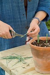 Taking dianthus cuttings - trimming