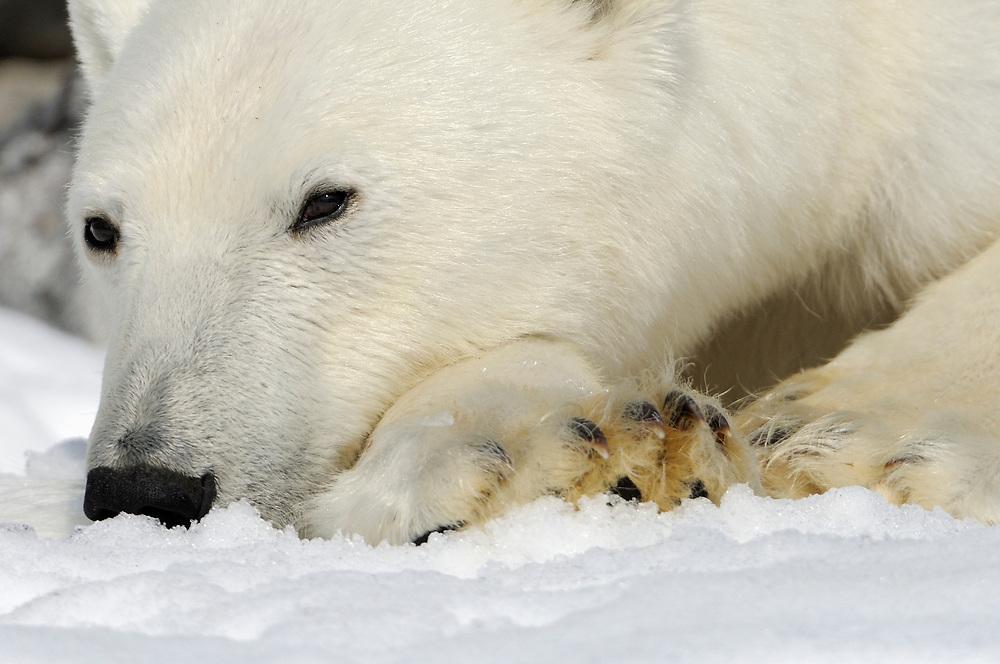 Polar Bear, Ursus maritimus, Svalbard, Norway