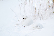 01863-01411 Two Arctic Foxes (Alopex lagopus) in snow Chuchill Wildlife Mangaement Area, Churchill, MB Canada