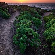 Cinquefoil carpets the coastline near Monterey, California