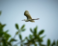 Snowy Egret (Egretta thula). Caroni Bird Sanctuary, Caroni Swamp, Trinidad, Image taken with a Nikon D3s camera and 70-300 mm VR lens.