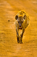 Spotted hyena, Serengeti National Park, Tanzania