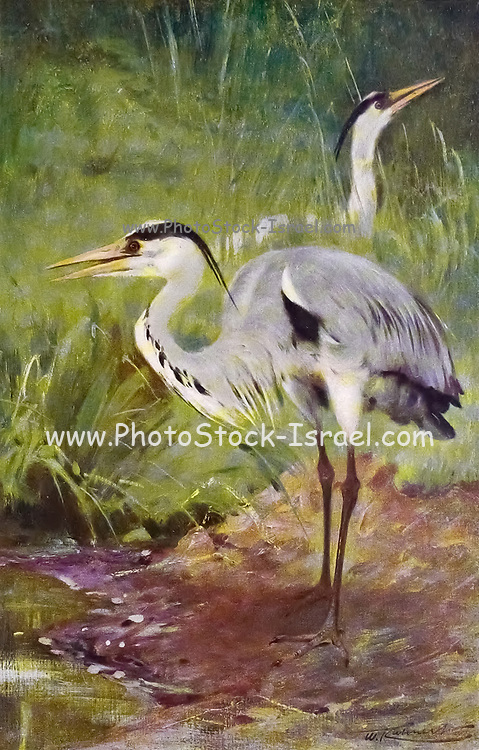 The grey heron (Ardea cinerea) is a long-legged predatory wading bird of the heron family, Ardeidae, native throughout temperate Europe and Asia and also parts of Africa. It is resident in much of its range, but some populations from the more northern parts migrate southwards in autumn. A bird of wetland areas, it can be seen around lakes, rivers, ponds, marshes and on the sea coast. It feeds mostly on aquatic creatures which it catches after standing stationary beside or in the water or stalking its prey through the shallows. from the book '  Animal portraiture ' by Richard Lydekker, and illustrated by Wilhelm Kuhnert, Published in London by Frederick Warne & Co. in 1912