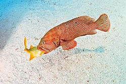 graysby, Cephalopholis cruentata = Epinephelus cruentatus, trying to swallow a grunt, Islamorada, Florida Keys National Marine Sanctuary, Florida, USA, Caribbean Sea, Atlantic Ocean