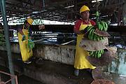 Selimo Kais (right), member of COOBANA, cuts recently harvested clusters of bananas into smaller bunches called hands. COOBANA: Finca 51, Changuinola, Bocas del Toro, Panamá. September 3, 2012.