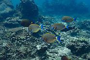 Black-spot surgeonfish  (Acanthurus bariene)