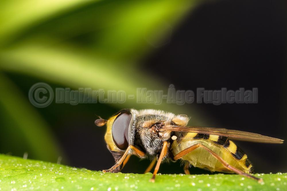 Closeup picture of Hoverflie sitting on a green flower   Nærbilde av en Blomsterflue som sitter på en grønn blomst