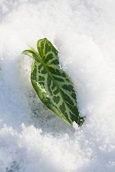 Leaf of Arum italicum 'Pictum' in snow