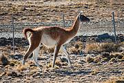 South of Perito Moreno: The guanaco (Lama guanicoe) is a camelid native to South America, closely related to the llama. Its name comes from the Quechua word huanaco (modern spelling wanaku). Near Perito Moreno, Argentina, Patagonia, South America.