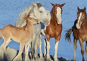 A family of wild horses huddles closely in the evening light at the Sand Wash Basin Wild Horse Management BLM area in northwest Colorado
