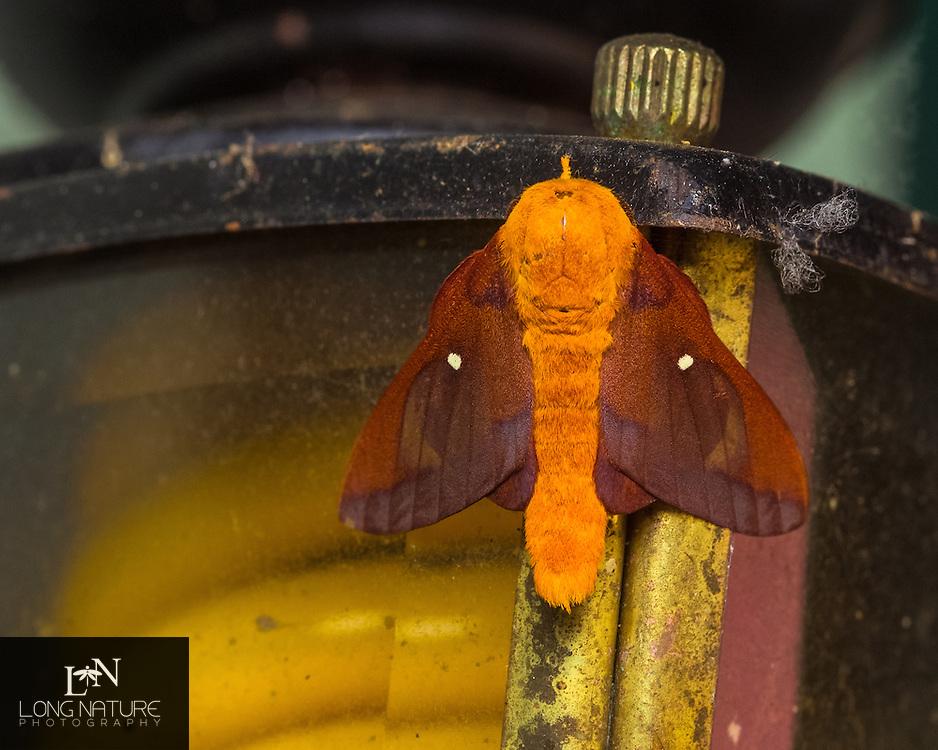 Anisota virginiensis pellucida - Southern Pink-striped Oakworm resting on porch light.  Lady Lake, Florida, USA