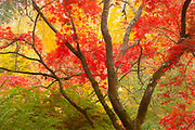 The red autumn leaves of a Japanese maple (Acer palmatum) provide contrast against the other trees and shrubs in the Woodland Garden of the Washington Park Arboretum in Seattle, Washington.