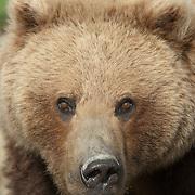 Alaskan Brown Bear portrait in Alaska.