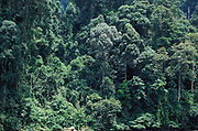 Rainforest Trees showing different heights, Danum Valley, Sabah, jungle treetop, edge of river