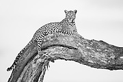 A leopard (Panthera pardus) resting in a tree comfortably ,Moremi Game Reserve,Botswana,Africa