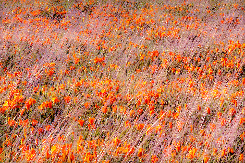 orange California poppies in the wind, abstract