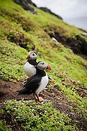 Puffins on Skellig Islands (Skellig Michael), Ireland